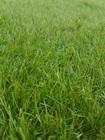 Sztuczna trawa Havanna (4)
